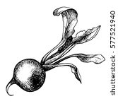 hand drawn radish  organic eco... | Shutterstock . vector #577521940