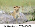 African Lion Cub In National...