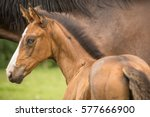 Bay Horse Foal With Blue Eye A...
