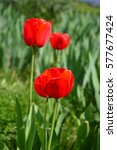 tulip with green blurry... | Shutterstock . vector #577677424