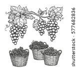 grape branches and grapes in... | Shutterstock .eps vector #577682836