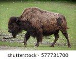 wood bison  bison bison... | Shutterstock . vector #577731700