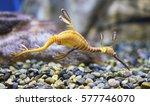 Closeup of a common sea dragon  ...