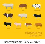 domestic pig breeds set cartoon ...   Shutterstock .eps vector #577767094