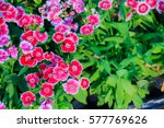 Beautiful Background of blooming Snowfire, China Doll, China Pink flower, pink Dianthus flowers (Dianthus chinensis) or Rainbow Pink flower in natural field on the sunny day.