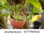 Young Bromeliad In Pot Garden...