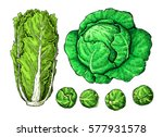 cabbage hand drawn vector... | Shutterstock .eps vector #577931578