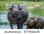 Small photo of thailand buffalo