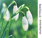 Small photo of Spring flowers - snowdrops. Beautifully blooming in the grass at sunset. Amaryllidaceae - Galanthus nivalis