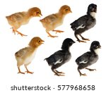 Six Small Chickens Isolated On...
