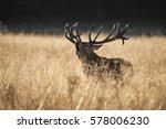 Majestic Red Deer Stag Cervus...