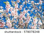 Small photo of Almond tree in full bloom against blue sky in the spring. Beautiful flower background