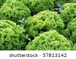 Green lettuce growing on the field of a farm - stock photo