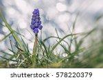 Grape Hyacinth Macro Photo