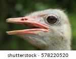 Close Up. Ostrich Face At The...