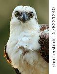 Bird Of Prey Osprey  Pandion...