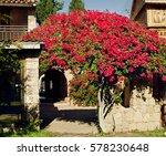 cyprus streets  lush rosebush...