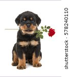 Stock photo sitting rottweiler puppy facing the camera holding a red rose in its mouth isolated on a white 578240110
