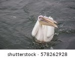 Sing Pelican Floating On The...