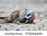 Fallen Sparrow In Very Cold...