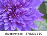 Close Up Purple Lotus.