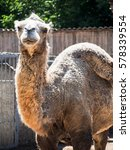 Small photo of A camel with a turned hump in the sunlight.