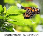 A Monarch Butterfly Has Landed...