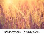 Closeup Barley Rice Field At...