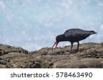 Small photo of An African oystercatcher feeding on a worm on a rock covered with muscles