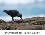 Small photo of An African oystercatcher selecting a worm amongst muscles on a rock