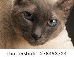 siamese cat   Shutterstock . vector #578493724
