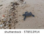 Small photo of Sea turtle hatchling crawl to the sea