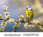 Blue Tit  Parus Caeruleus ...