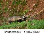european badger  meles meles ... | Shutterstock . vector #578624830