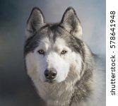 Siberian Husky Dog Up Close...