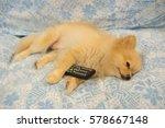 cute pomeranian dog fall asleep ... | Shutterstock . vector #578667148
