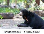 Closeup Of Malayan Sun Bear ...