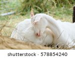 Little Goat Sleeping In Farm.