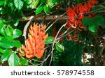 Jade Vine Or  Strongylodon...