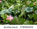 Plantation Of Lotuses