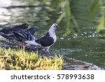 pigeons drinking water | Shutterstock . vector #578993638