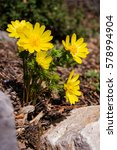 Small photo of Spring Adonis bush between the stones