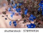 Spring Lobelia  Tiny Blue...