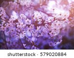 blossoming cherry  flowering...   Shutterstock . vector #579020884