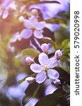 blossoming apple  flowering... | Shutterstock . vector #579020998