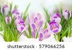 Spring Crocuses Flowers Under ...