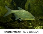 Small photo of White bream, silver bream (Abramis bjoerkna, Blicca bjoerkna).