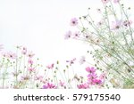 cosmos flower field  natural... | Shutterstock . vector #579175540