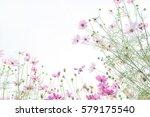 cosmos flower field  natural... | Shutterstock . vector #579175540