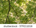 Oak Branch  Illuminated By The...